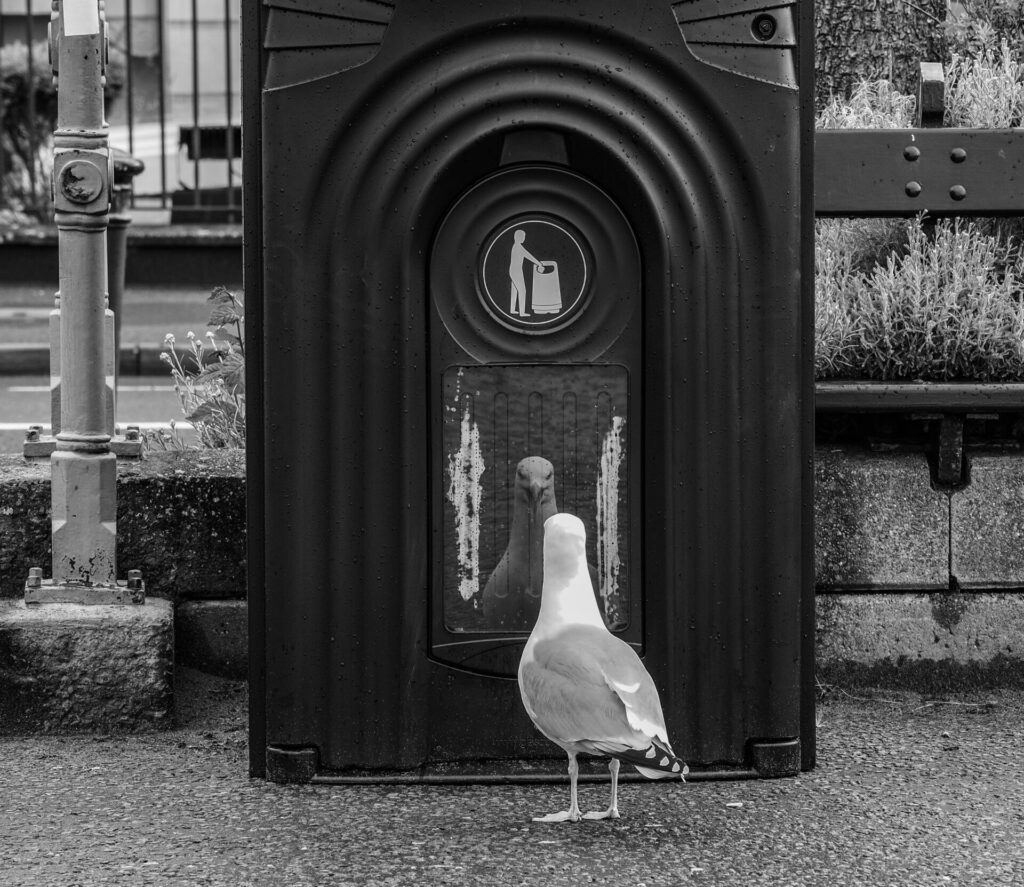 Black and White Photo of Seagull looking at itself in the morrow of a rubbish bin on the Llandudno Prom in North Wales
