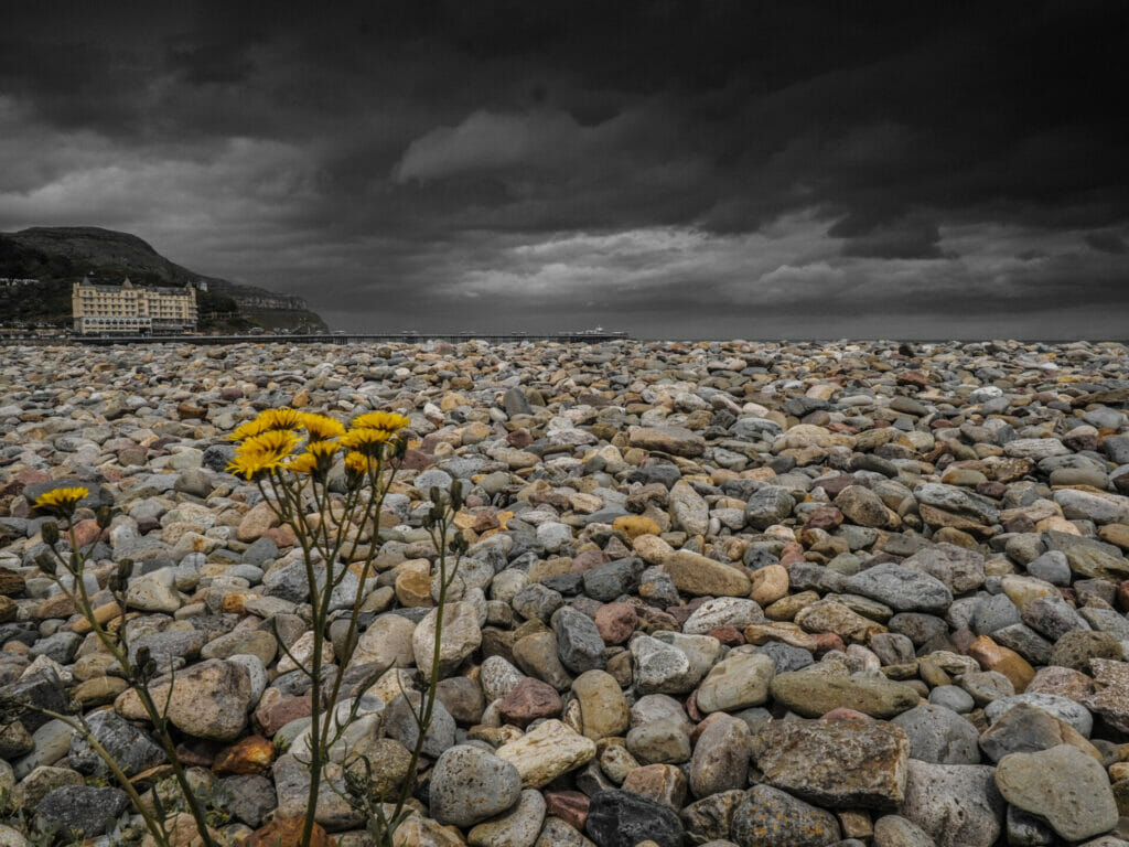 Dramatic photo taken from a ow viewpoint on the Llandudno Prom,  Wildflower growing through the rocks with a dark sky with the Grand Hotel in the distance.